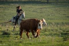סוסים חוות דובי הובלת בקר -8403