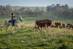 סוסים חוות דובי הובלת בקר -8410