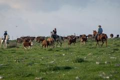 סוסים חוות דובי הובלת בקר -8447