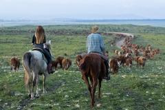 סוסים חוות דובי הובלת בקר -8467