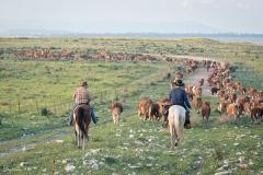 סוסים חוות דובי הובלת בקר -8483