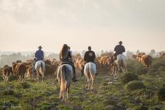 סוסים חוות דובי הובלת בקר -8506