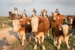 סוסים חוות דובי הובלת בקר -8530