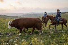 סוסים חוות דובי הובלת בקר -8593