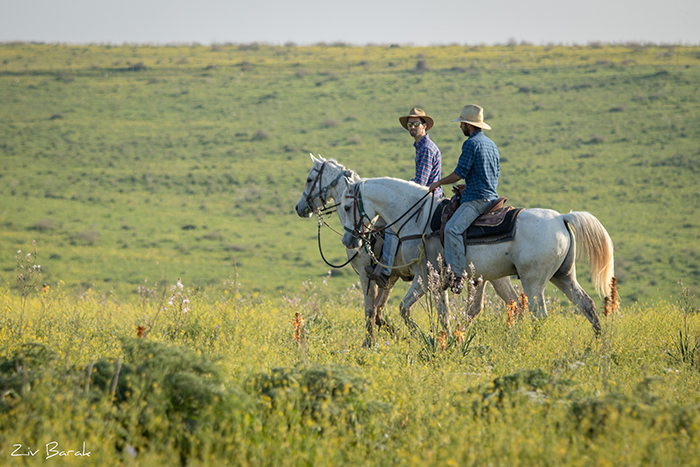 סוסים חוות דובי הובלת בקר -8352