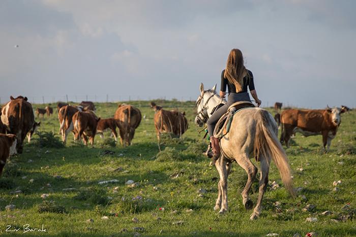סוסים חוות דובי הובלת בקר -8433