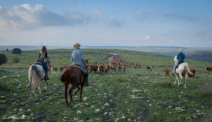 סוסים חוות דובי הובלת בקר -8465